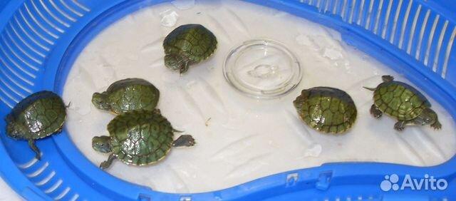 410Уход за красноухими черепашками в домашних условиях