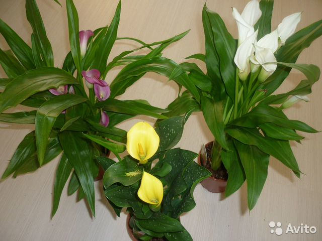 Цветы горшечные купить новосибирск