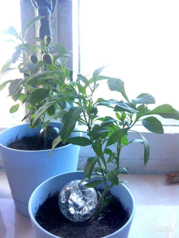 комнатное растение паслен