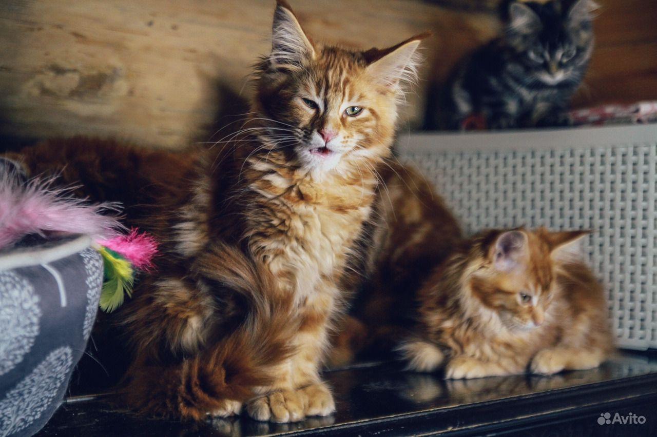 Мейн-кун котенок обаяшка в Москве - фотография № 2