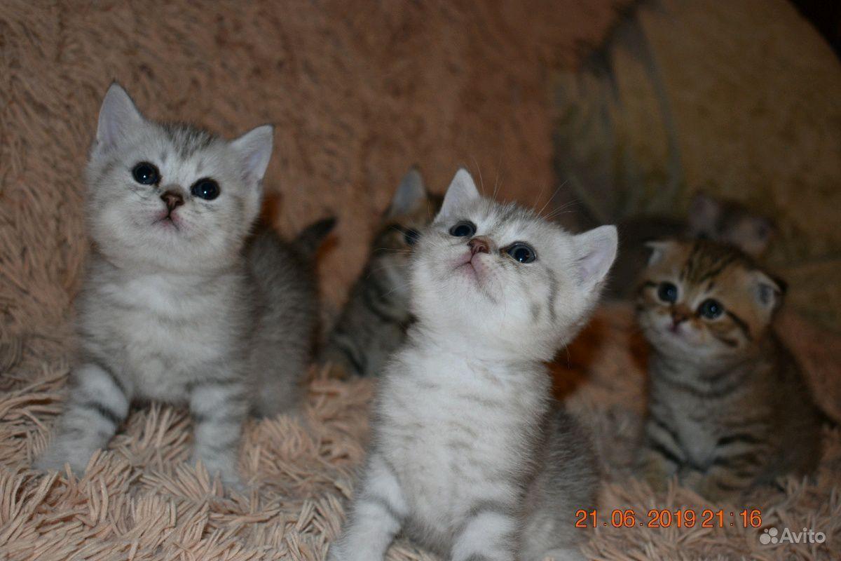 Шотландские котята в Пензе - фотография № 7