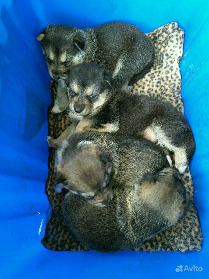 Щенки от средней собачки в Дзержинске - фотография № 1