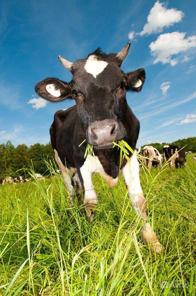 Корова черно-пестрая