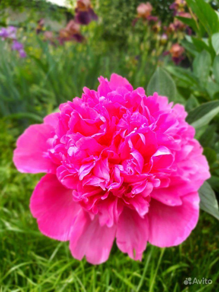 Цветы садовые купить на Зозу.ру - фотография № 9