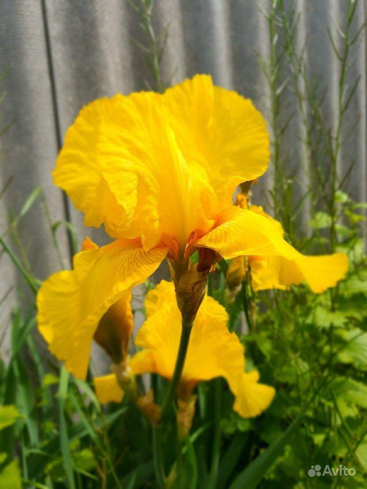 Цветы садовые купить на Зозу.ру - фотография № 10