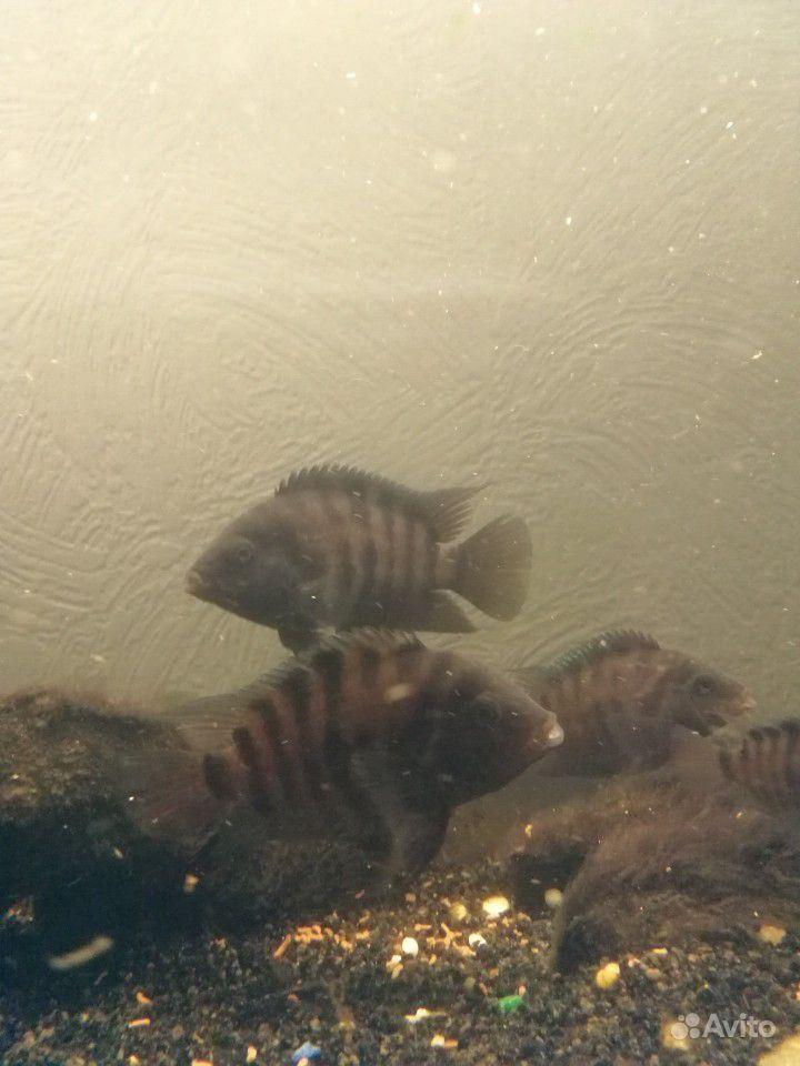 Рыбы цихлазома купить на Зозу.ру - фотография № 1