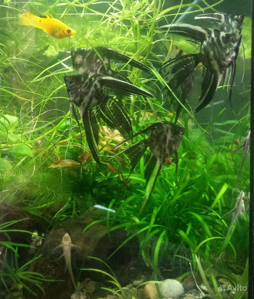 Скалярии, анциструсы, мох печёночный (ломариопсис) купить на Зозу.ру - фотография № 1