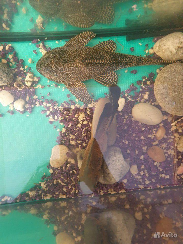 Отдам 3х рыбок за Киндеры купить на Зозу.ру - фотография № 3