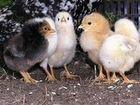 Мясо -яичные цыплята