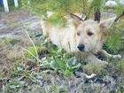 Молодая собачка ищет дом, привита, стерелизована