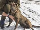 Собака 2 г помесь питбуль стерилизована
