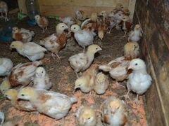 Цыплята, суточные и подрощеные