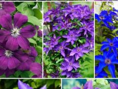 Цветы климатес