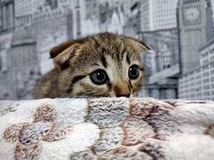 Продам веслоухих котят