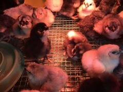 Цыпленок маран
