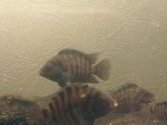 Рыбы цихлазома