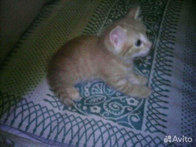 Рыженький котенок 89120433035 купить 1