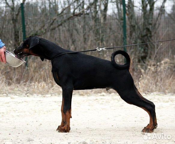 Щенки добермана от титулованных родителей — Собаки в Санкт-Петербурге
