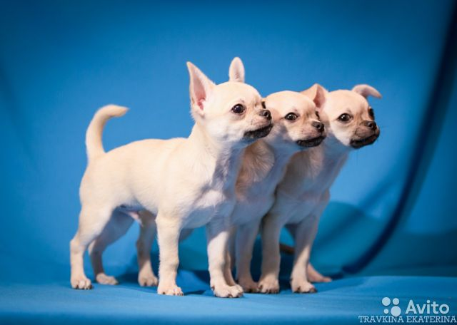 Чихуахуа щенки купить на Зозу.ру - фотография № 10