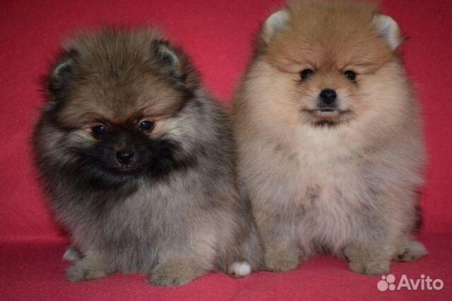 Очень красивые щенки померанского шпица купить на Зозу.ру - фотография № 10