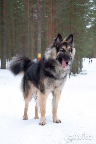 Отдам собаку купить на Зозу.ру - фотография № 1