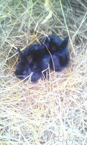 Продам месячных крольчат 89082951331 купить 2