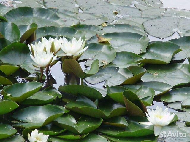 Нимфеи (водные лилии ) купить 7