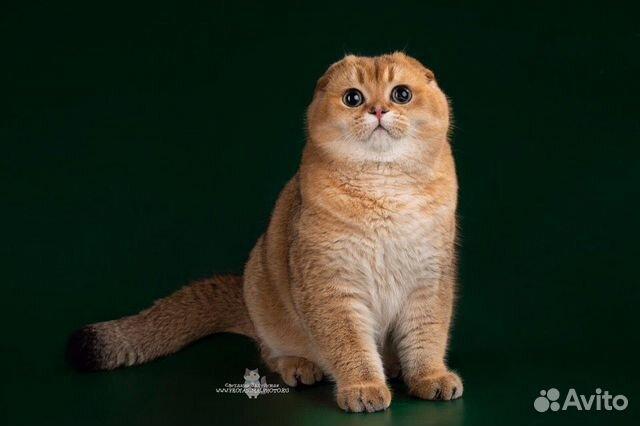 Шотландский племенной кот вязка купить 3