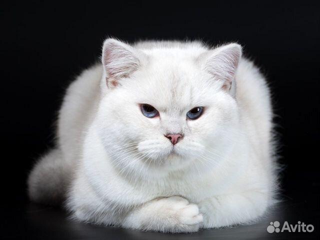 89137551177 Британский кот