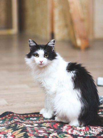 Великолепная кошка Аврора, 2 года  купить 3