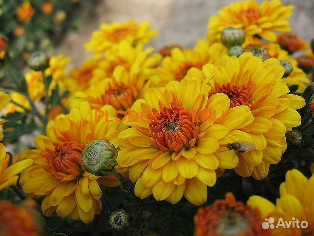 Хризантемы  89806766903 купить 8