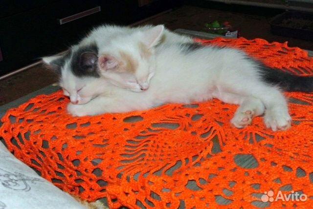 Два кота и одна кошечка 2 месяца в добрые руки