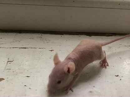 Голая крыска