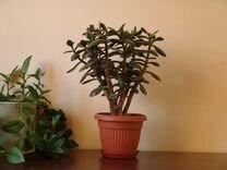 Толстянки среднего размера — Растения в Екатеринбурге