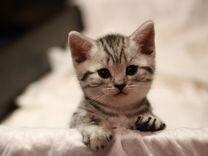 """Британские котята окраса """"Вискас"""""""