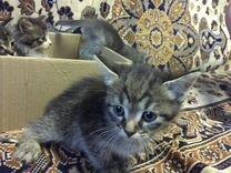 Малыши котята мальчики и девочки, 1 мес