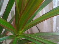 Драцена растение — Для дома и дачи в Геленджике