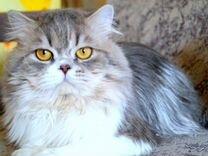 Хайленд страйт (шотландская) кот на вязку