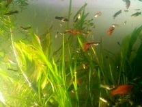 Рыба-Гуппи
