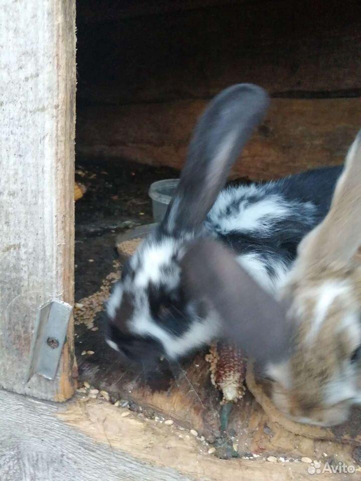 Kaninchen  89107477039 kaufen 1