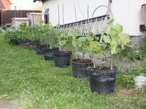 Саженцы винограда, клубника