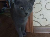 Кошка короткошёрстная британская