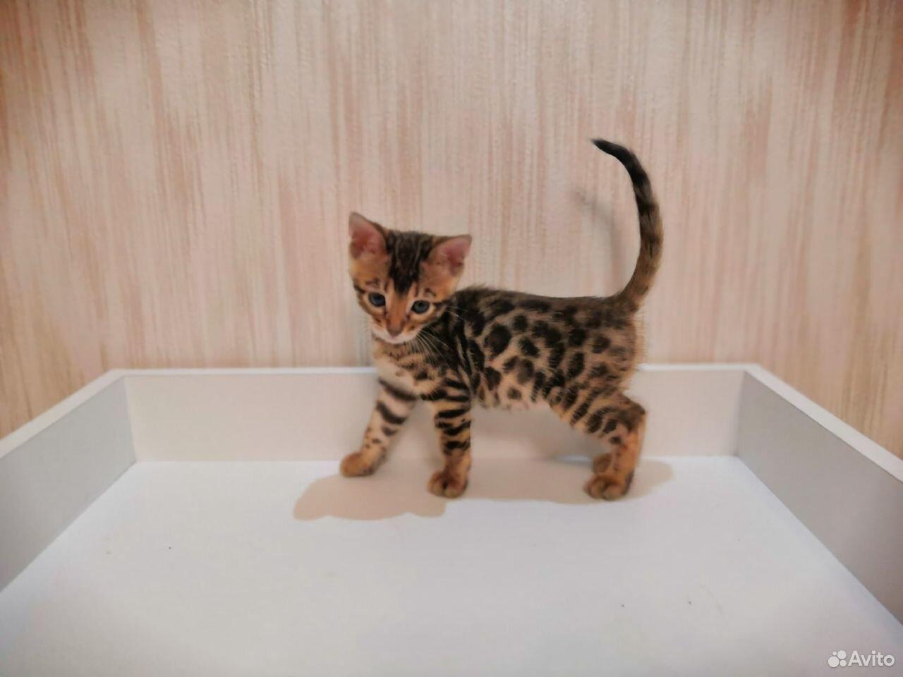 Бенгальские котята  89610262725 купить 1