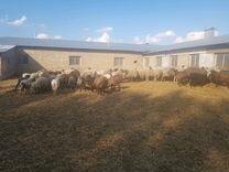 Бараны, овцы, ягнята