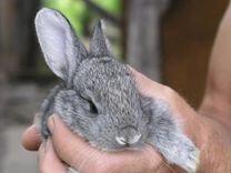 Кролики Русская Шиншилла