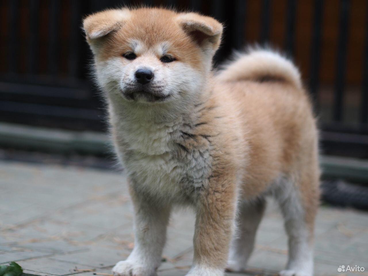 Акита ину щенки из питомника  89126335079 купить 4