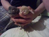 Чистокровные котята персидские