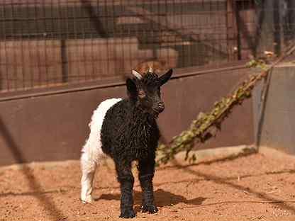 Камерунские нубийские валлийские козы